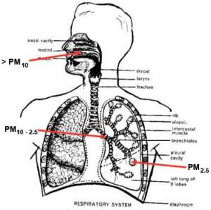 lungs-pm